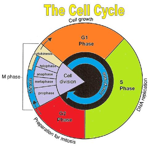 cell cycle labeling diagram cell database wiring diagram images pictures cell cycle labeling worksheet answer key