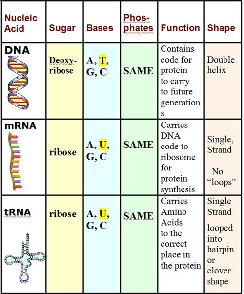 Curran Thomas DNA and Protein Synthesis Worksheet Key – Dna and Protein Synthesis Worksheet