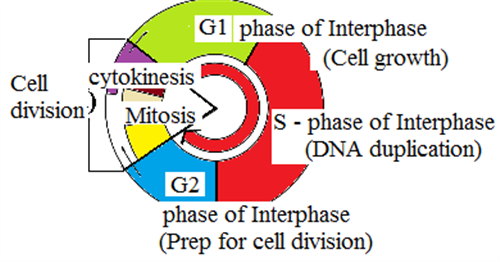 biology study guide cell division dna Study guides biology cell cycle  during the s phase of the cell cycle, the dna  microfilaments contract during cleavage and assist the division of the cell.