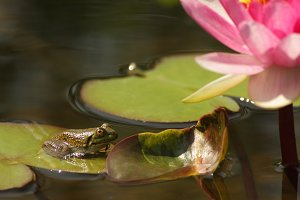 Frog on Lily